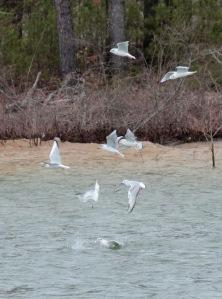 4-Bonaparte's Gulls w:fish
