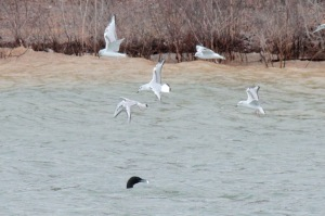 5-Bonaparte's gulls, common loon