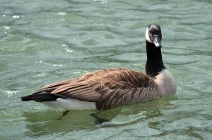 6-Canada Goose3
