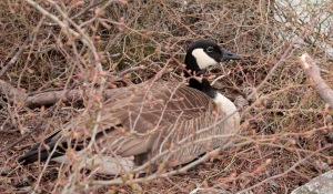 7-Canada Goose2