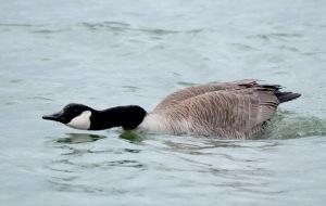 8-Canada Goose4