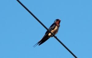 Barn Swallow2