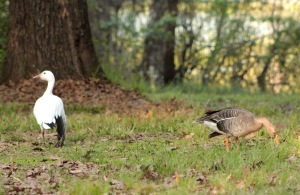 Goose, Snow and Greater White-fronted