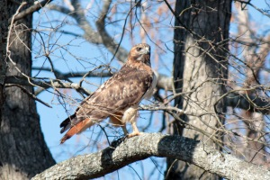 Red-tailed Hawk1