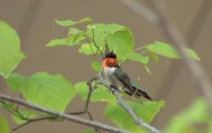 RT Hummingbird2