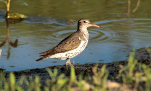 Sandpiper, Spotted1