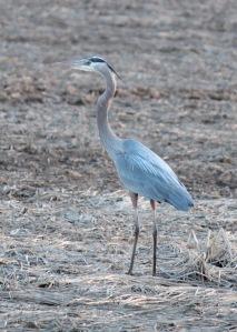 Bald Knob-Great Blue Heron1 4-6