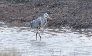 Bald Knob-Great Blue Heron3 4-6