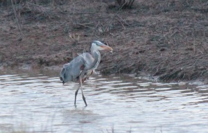 Bald Knob-Great Blue Heron4 4-6