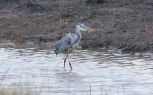 Bald Knob-Great Blue Heron5 4-6