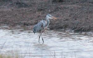 Bald Knob-Great Blue Heron5 4-6
