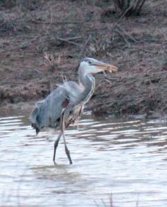Bald Knob-Great Blue Heron6 4-6