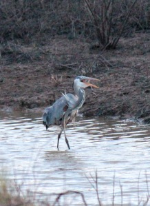 Bald Knob-Great Blue Heron7 4-6