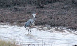 Bald Knob-Great Blue Heron8 4-6