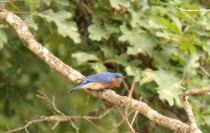 Eastern Bluebird that posed as we headed down to the dock.