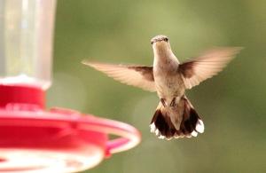 Cooks Lake-hummingbird1 6-15