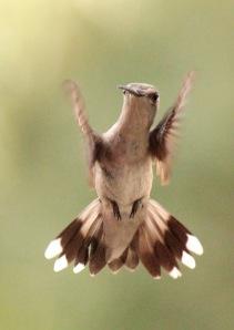 Cooks Lake-hummingbird3 6-15