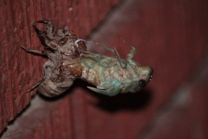 A cicada sheds its old skin one night.