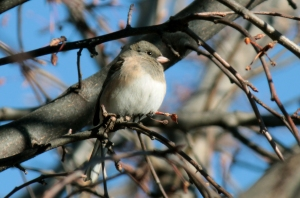 """Oregon"" Dark-eyed Junco1"