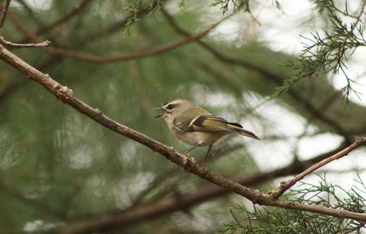 Golden-Crowned Kinglet 02 toned