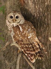 barred owl.bald knob nwr.061018