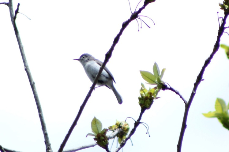 blue-gray gnatcatcher.042118.BKNWR