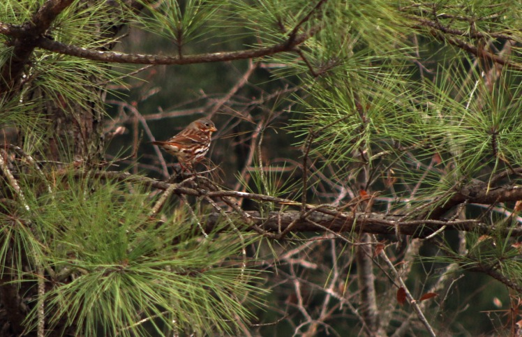 Fox Sparrow.120017.CBC Craighead