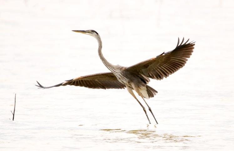 great blue heron.062418.bknwr