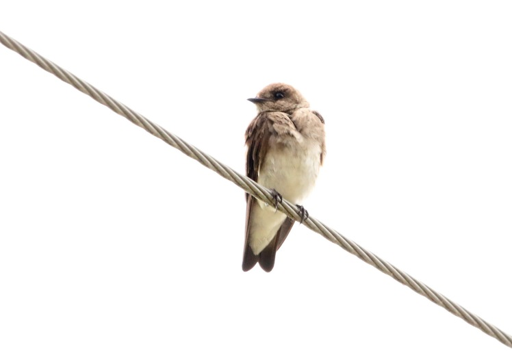 Northern Rough-winged Swallow.062418.BKNWR