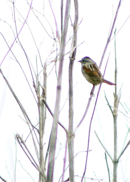 swamp sparrow.042118.BKNWR