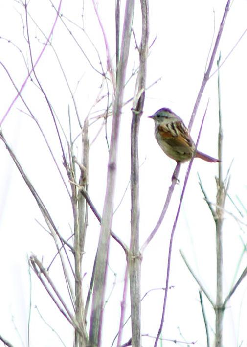swamp sparrow.042118.BKNWR
