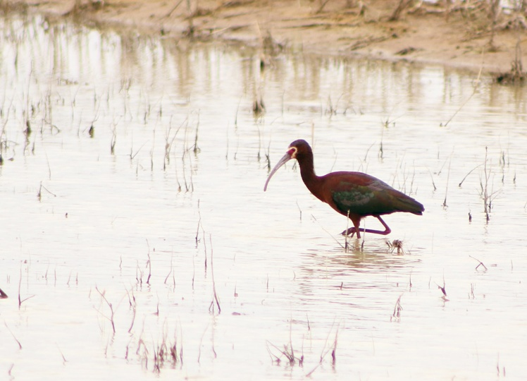 white-faced ibis.042118.BKNWR