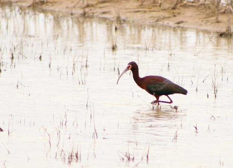white-faced ibis.042118.BKNWR