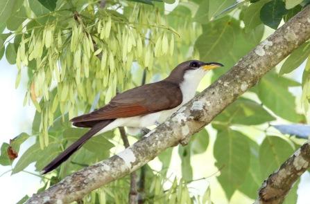 yellow-billed cuckoo-bald knob nwr.061018