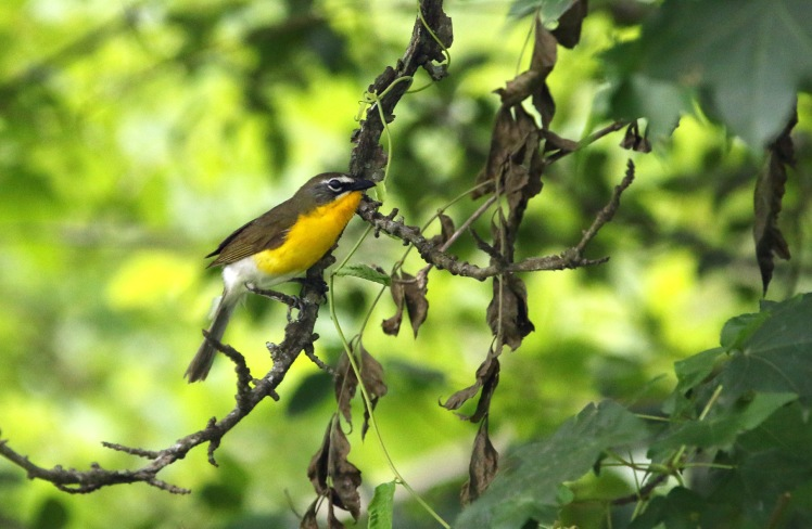 Yellow-breasted Chat.062418.BKNWR