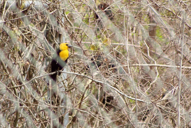 yellow-headed blackbird.042118.BKNWR
