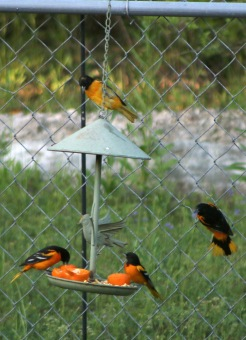 Baltimore Orioles.43018.1319 Northpoint 01
