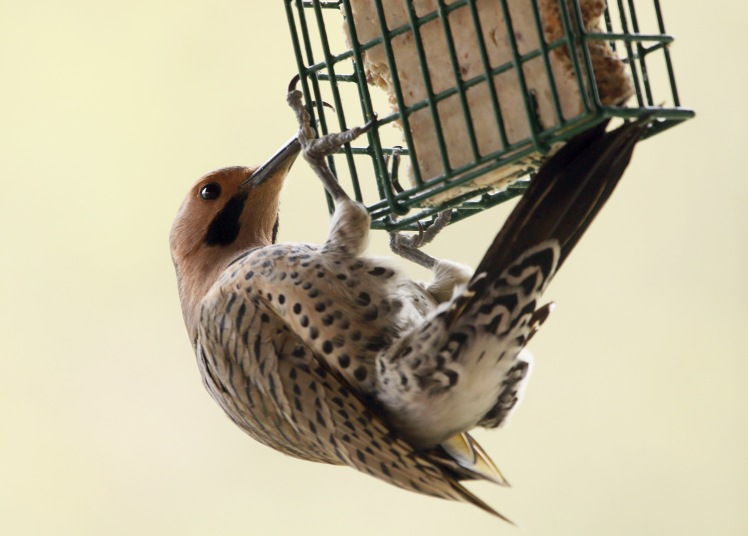 Northern Flicker 020219