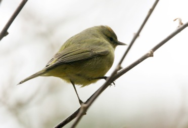 Orange-crowned Warbler 2 022319