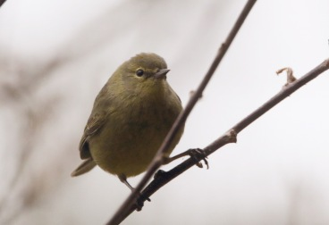 Orange-crowned Warbler 3 022319