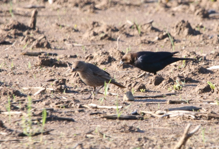 Brown-headed Cowbird 042619.JPG