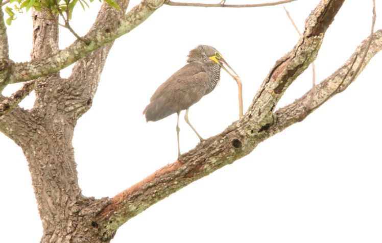 *Bare-throated Tiger Heron1 with Burrowing Python 052919 Hacienda Solimar
