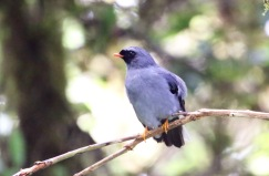 Black-faced Solitarie