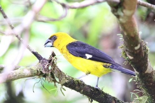 Black-thighed Grosbeak
