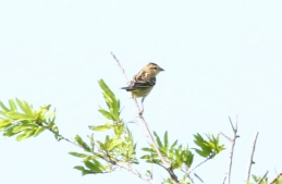 Bobolink (female) 042819 BKNWR