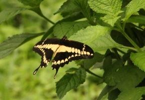 *Butterfly8 052919 Hacienda Solimar