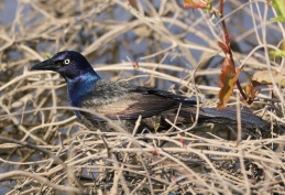 Common Grackle 042819 BKNWR
