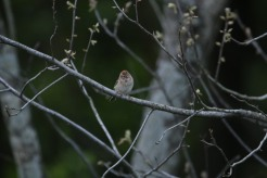 Field Sparrow 2 042819 BKNWR