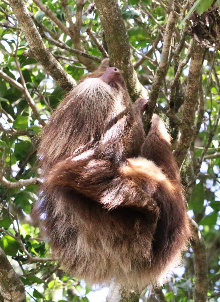 *Hoffman's Two-toed Sloth1 053119 Costa Rica (Monteverde)
