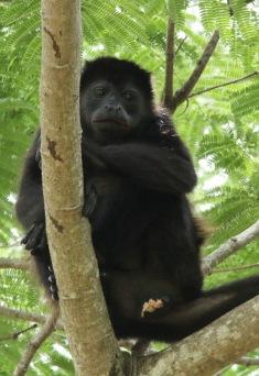 *Monkey3 052919 Hacienda Solimar